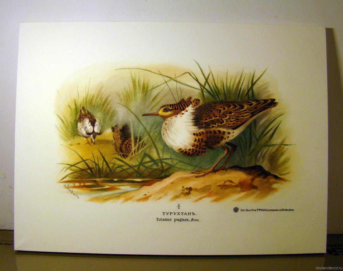 Ирина Агалакова — копия с литографии «Турухтан» (1). Бумага, акварель. Размер: 55х75 см.